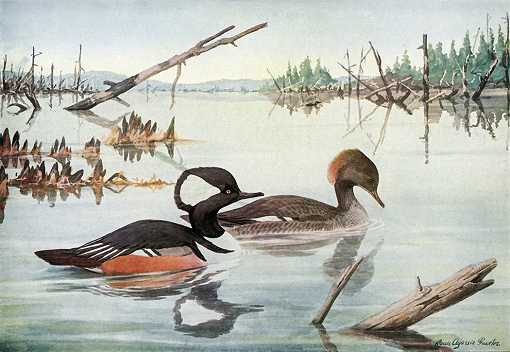 Painting of a hooded merganser pair in a lake with fallen timber and foliage.
