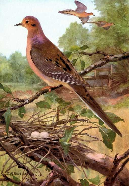 Painting of mourning dove perched above a nest with eggs in a tree with a field and forest background.