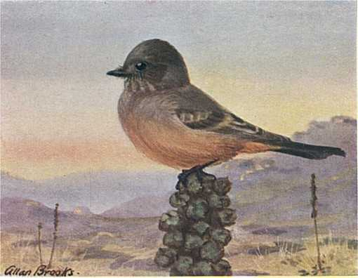 Painting of a Say's phoebe perched on a cactus top with desert and mountains in the background.
