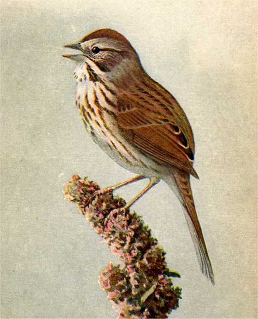Painting of a song sparrow perched on a plant bud full of seeds.