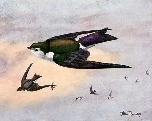 Painting of violet-green swallows preying on high flying insects with sun lit clouds in the background.