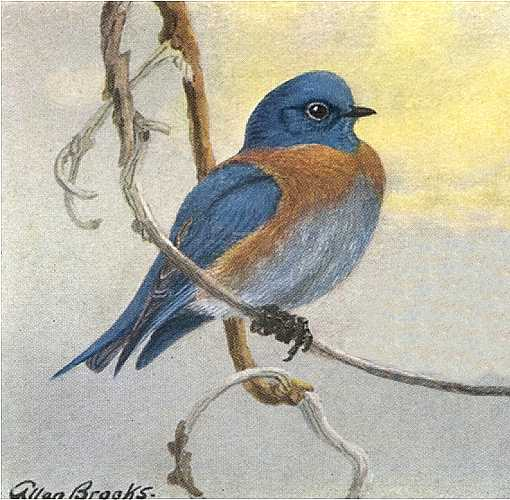 Painting of a western bluebird perched on a twig with underside of clouds lit by rising sun background.