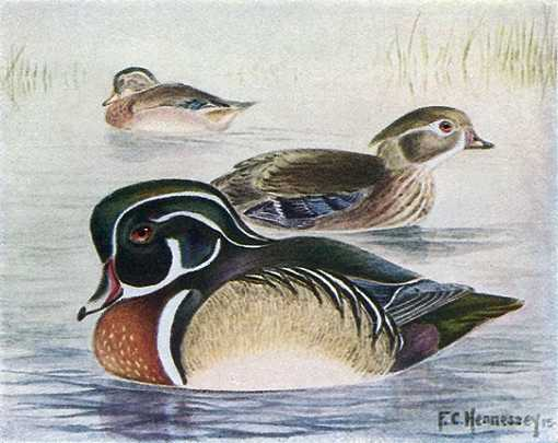 Painting of wood ducks in a pond with water plants in the background.